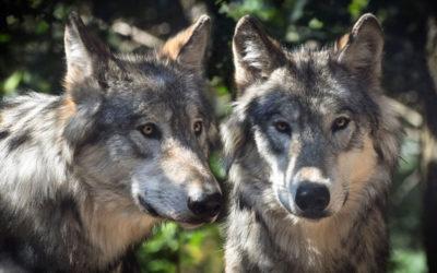 Geschichte zum Nachdenken: Die zwei Wölfe